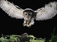 Gambar Hewan Pemakan Tikus Got - Owls Prey On Rats ( Burung Hantu Memangsa Tikus)