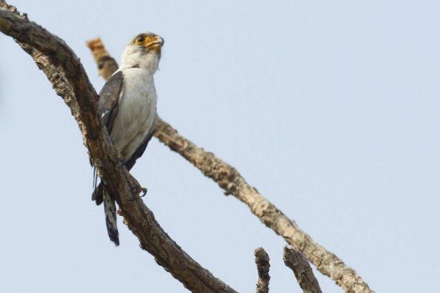 Gambar White-rumped falcon ( Polihierax insignis )-Jenis Alap Alap Di Dunia