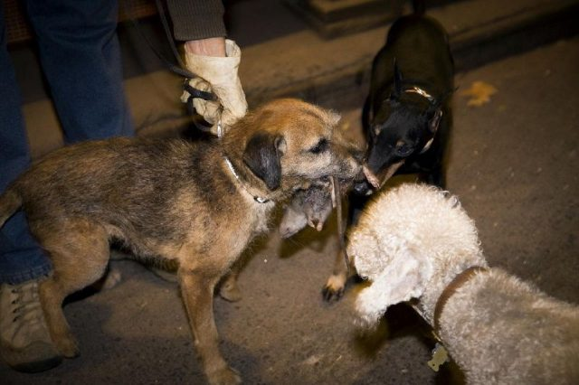 Gambar Hewan Pemakan Tikus Got - dogs prey on rats ( Anjing Memangsa Tikus)