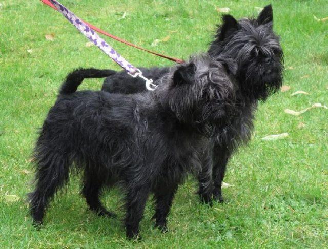 Gambar Jenis Anjing Kecil-Affenpinscher