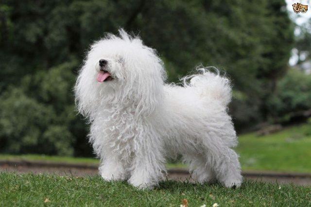 Gambar Jenis Anjing Kecil-Bolognese dog