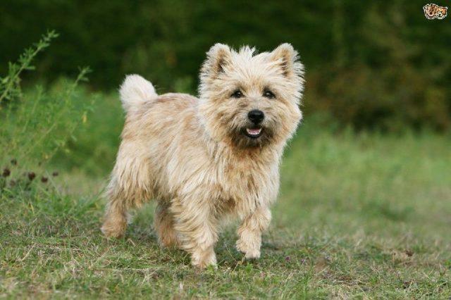 Nama Hewan Dari Huruf C - Cairn Terrier