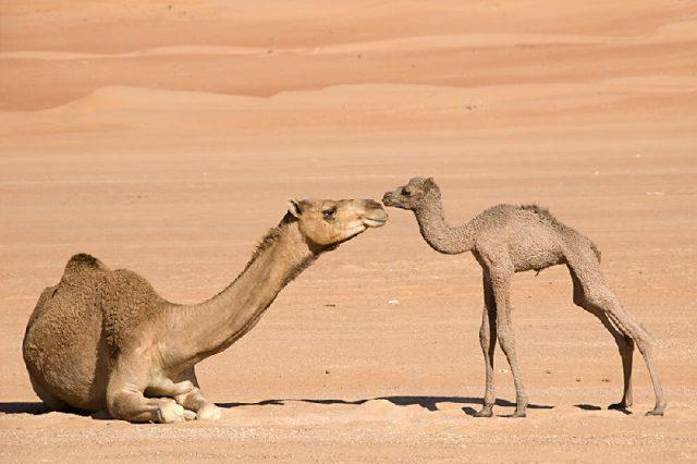 Gambar Nama Hewan Dari Huruf C - Camel