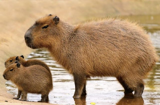 Gambar Nama Hewan Dari Huruf C - Capybara