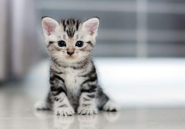 Gambar Nama Hewan Dari Huruf C - Cat