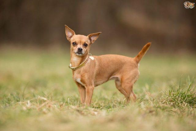 Gambar Nama Hewan Dari Huruf C - Chihuahua
