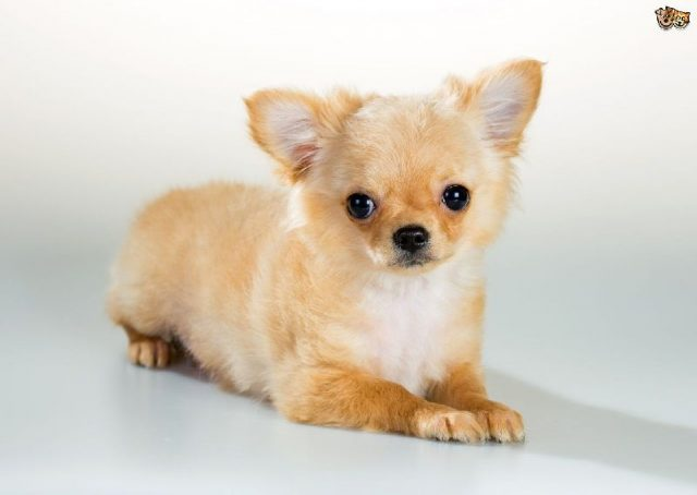 Gambar Jenis Anjing Kecil-Chihuahua