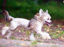 Gambar Jenis Anjing Kecil-Chinese Crested
