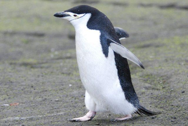 Gambar Nama Hewan Dari Huruf C - Chinstrap Penguin