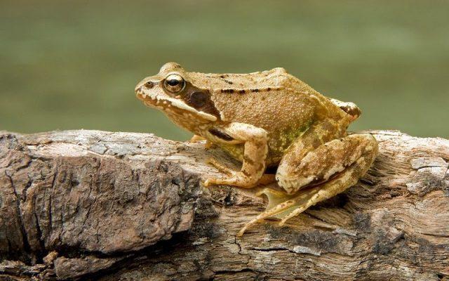 Gambar Nama Hewan Dari Huruf C - Common Frog