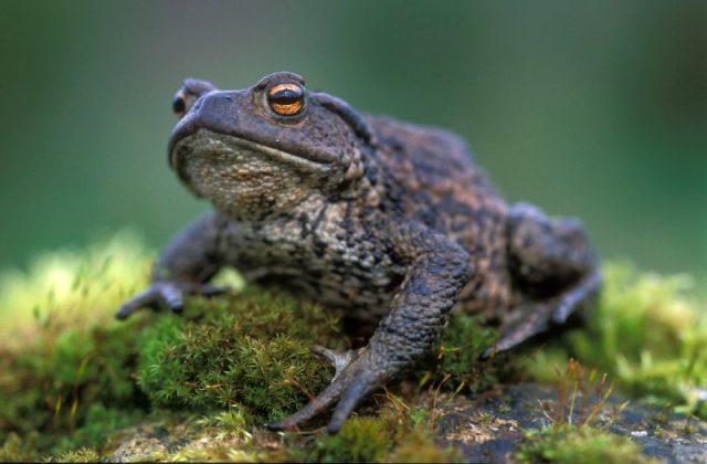 Gambar Nama Hewan Dari Huruf C - Common Toad