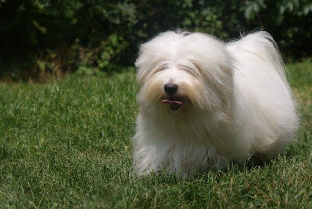 Gambar Jenis Anjing Kecil-Coton de Tulear