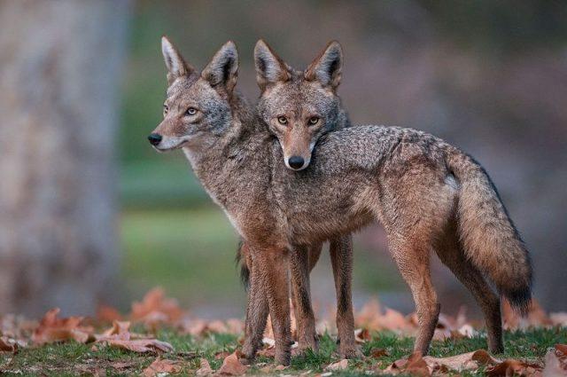 Gambar Nama Hewan Dari Huruf C - Coyote