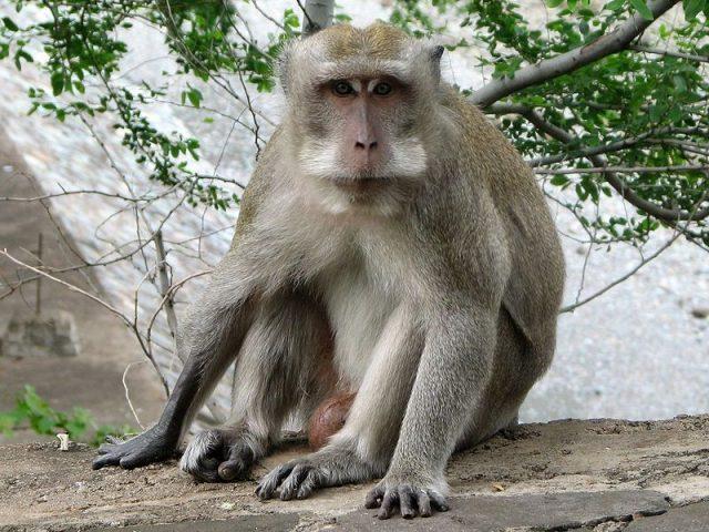 Gambar Nama Hewan Dari Huruf C - Crab-Eating Macaque