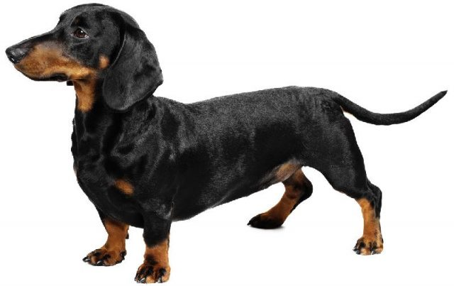 Nama Hewan Dari Huruf D-Dachshund ( Anjing )