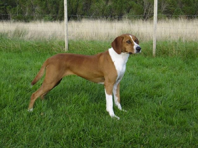 Nama Hewan Dari Huruf D-Deutsche Bracke ( Anjing )