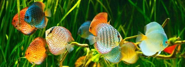 Nama Hewan Dari Huruf D-Discus ( Ikan Hias Air Tawar )
