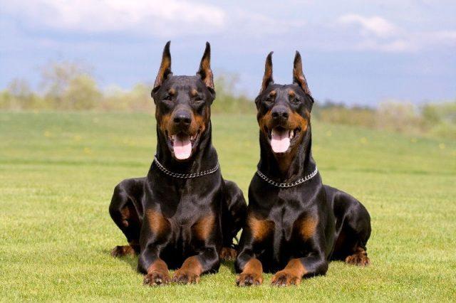 Nama Hewan Dari Huruf D-Doberman Pinscher ( Anjing )