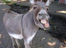 Nama Hewan Dari Huruf D-Donkey