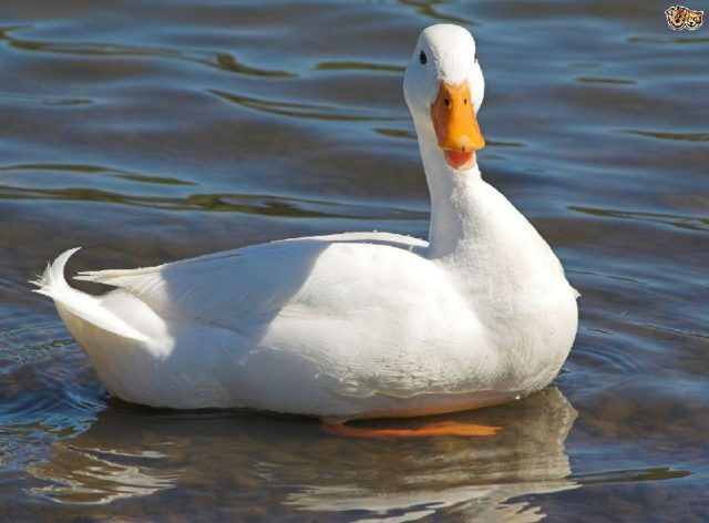 Nama Hewan Dari Huruf D-Duck ( Itik )