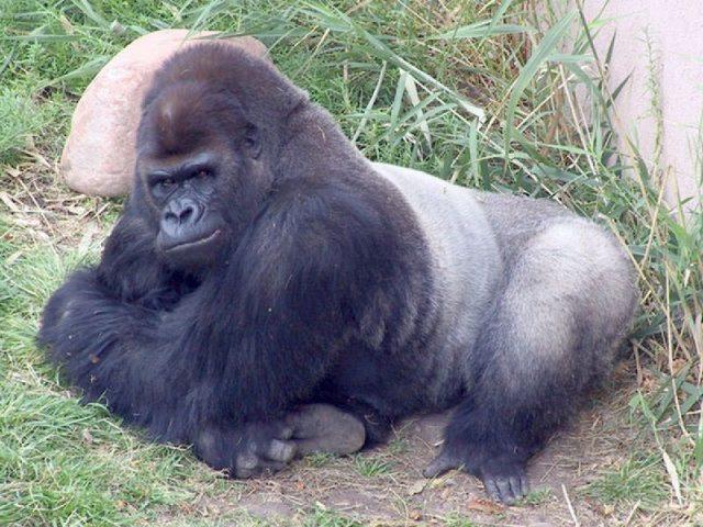 Gambar Nama Hewan Dari Huruf E - Eastern Lowland Gorilla