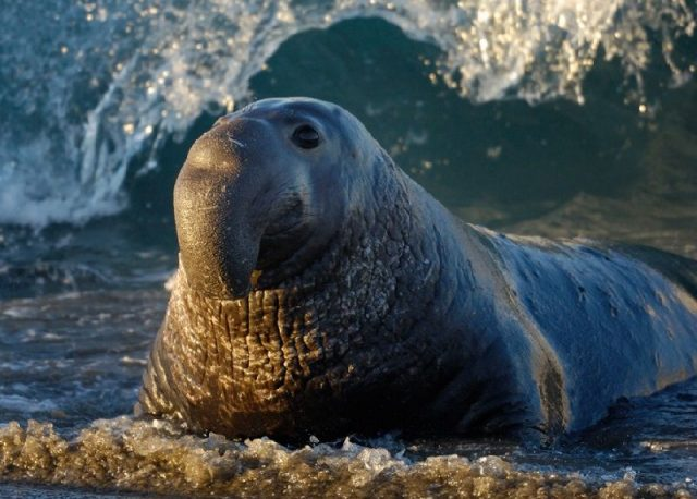 Gambar Nama Hewan Dari Huruf E - Elephant Seal