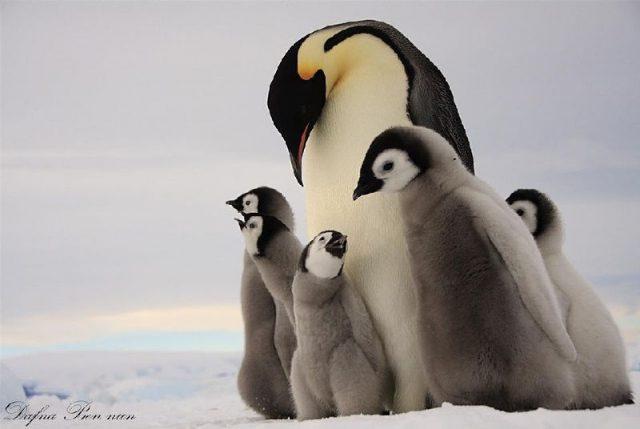 Gambar Nama Hewan Dari Huruf E - Emperor Penguin