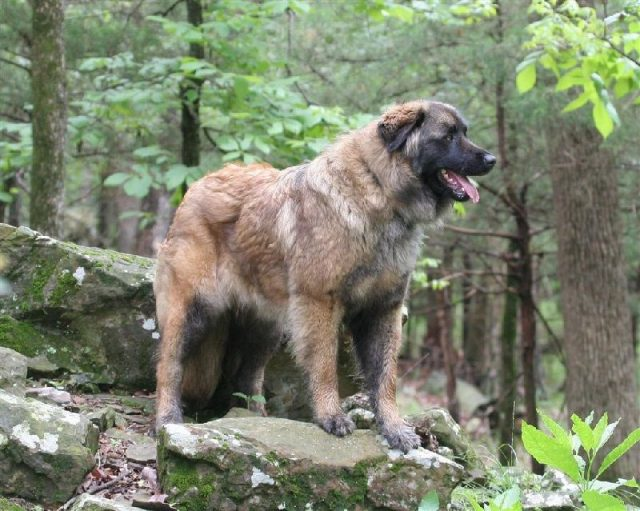 Gambar Nama Hewan Dari Huruf E - Estrela Mountain Dog