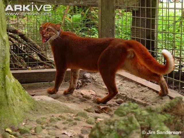 Foto Dan Gambar Kucing Merah Kalimantan atau BORNEAN BAY CAT