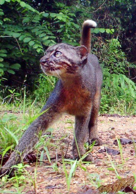 Gambar Kucing Merah Kalimantan atau Borneo Bay Cat (Pardofelis badia)