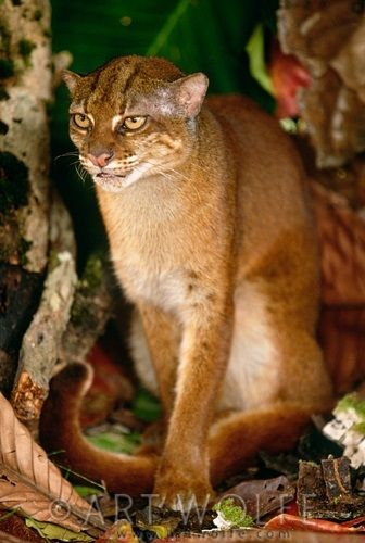 Gambar Kucing Merah Kalimantan atau Pardofelis, Catopuma
