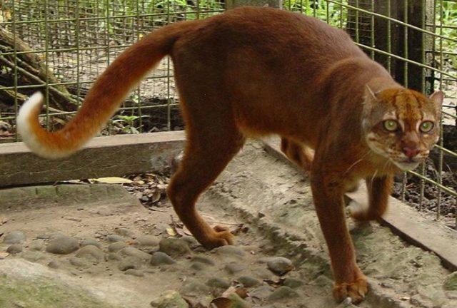 Gambar Kucing Merah Kalimantan