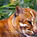 Gambar Kucing Merah Kalimantan atau BORNEAN BAY CAT