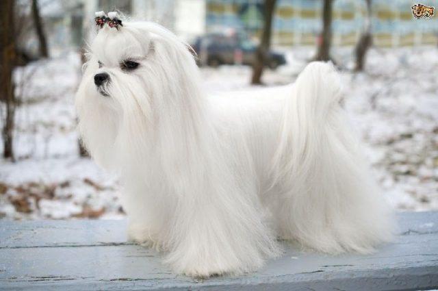 Gambar Jenis Anjing Kecil-Maltese