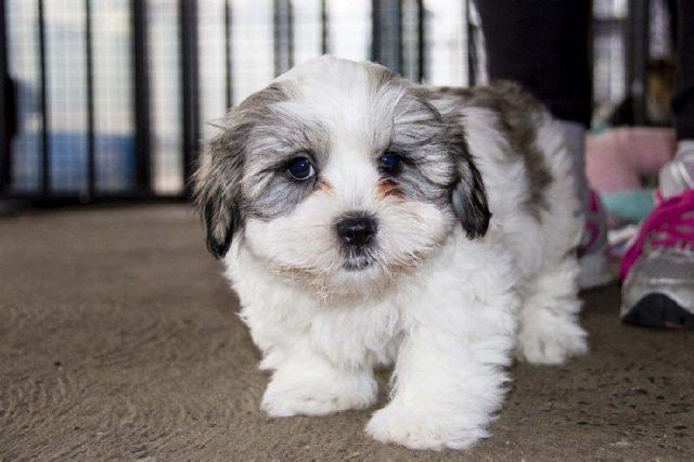 Gambar Jenis Anjing Kecil-Maltese Shih Tzu