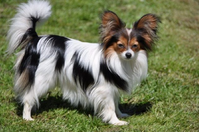 Gambar Jenis Anjing Kecil-Papillon