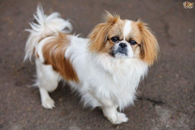 Gambar Jenis Anjing Kecil-Pekingese