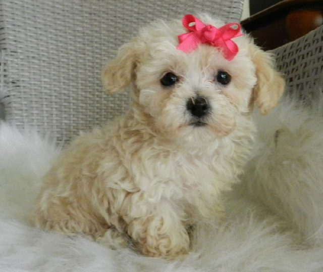 Gambar Jenis Anjing Kecil-Poodle (Toy & Miniature)