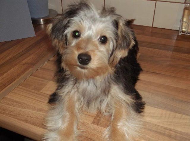 Gambar Jenis Anjing Kecil-Yorkipoo