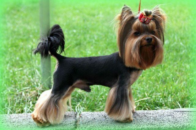 Gambar Jenis Anjing Kecil-Yorkshire Terrier