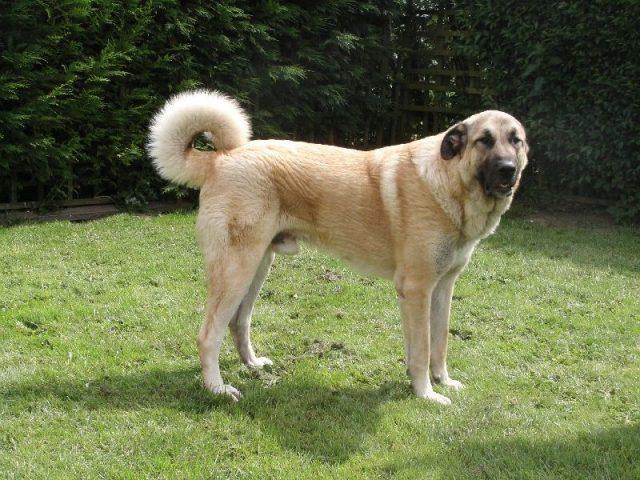 Gambar Jenis Anjing Besar Anatolian shepherd