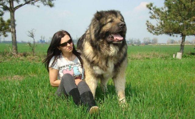Gambar Jenis Anjing Besar