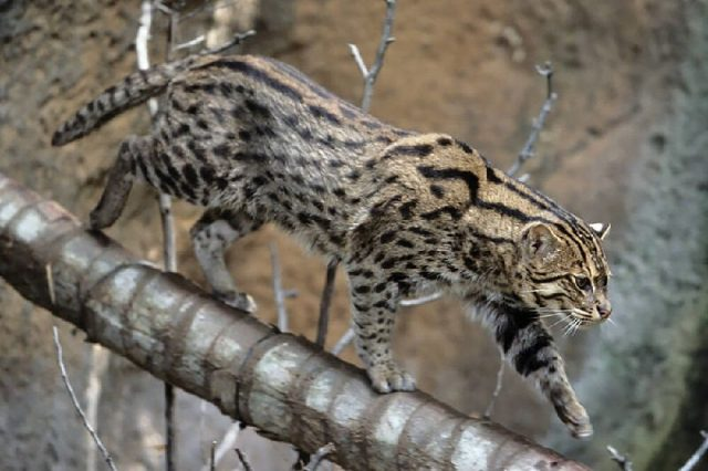 Gambar Fishing Cat - Nama Hewan Dari Huruf F