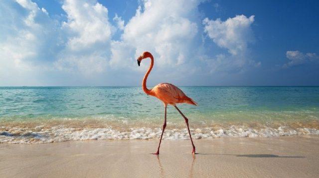 Gambar Flamingo - Nama Hewan Dari Huruf F