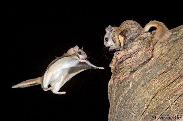 Gambar Flying Squirrel - Nama Hewan Dari Huruf F