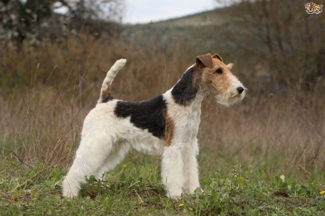 Gambar Fox Terrier - Nama Hewan Dari Huruf F