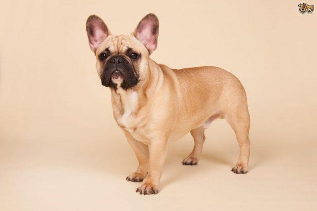 Gambar French Bulldog - Nama Hewan Dari Huruf F