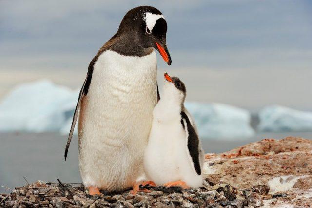 Gambar Gentoo Penguin - Nama Hewan Dari Huruf G