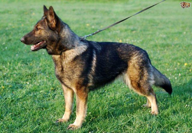 Gambar German Shepherd - Nama Hewan Dari Huruf G