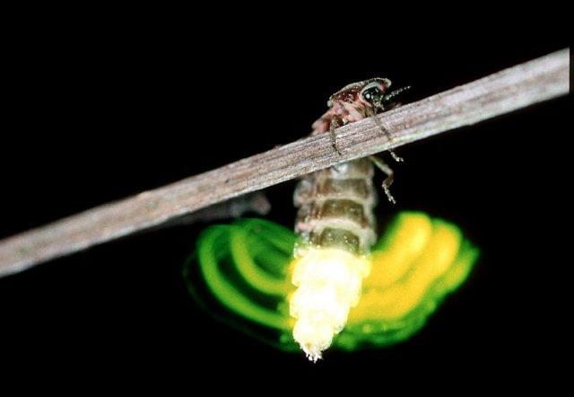 Gambar Glow Worm - Nama Hewan Dari Huruf G